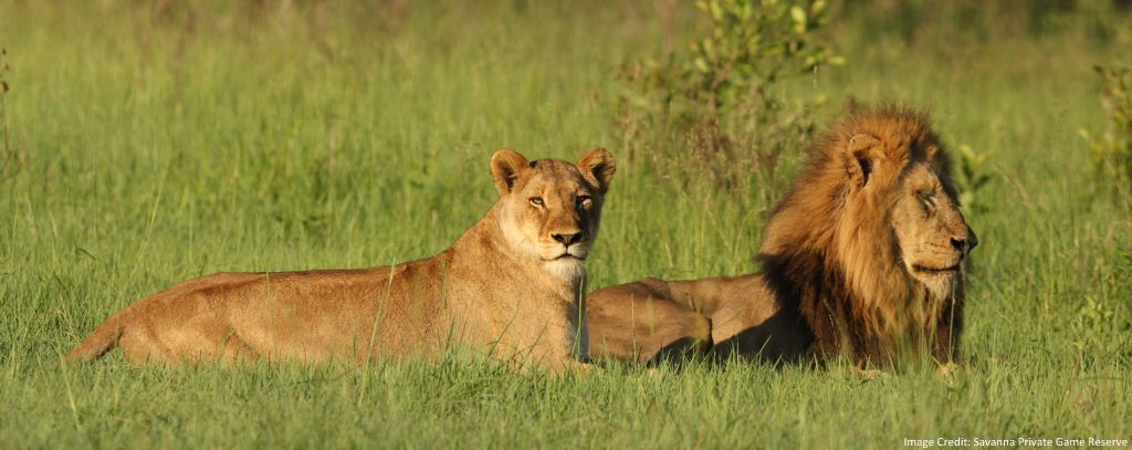 Lion and Lioness Resting