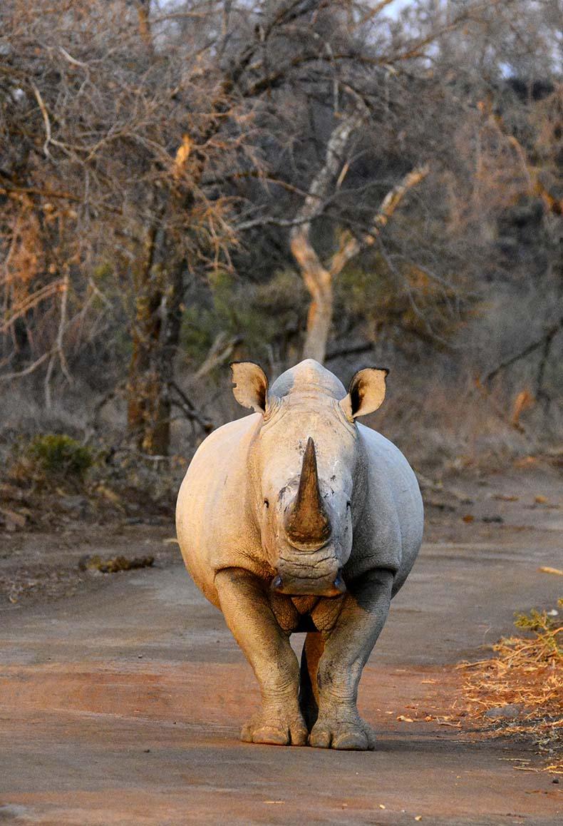 Thakadu Rhino