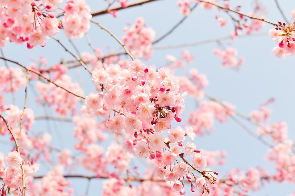 cherry blossom hanami