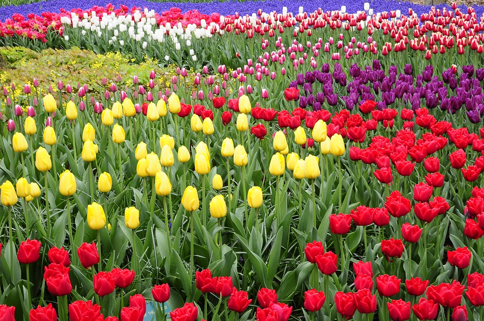 colorful tulip fields